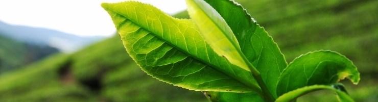 Крупнолистовой цейлонский чай