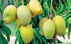 Король фруктов - Манго